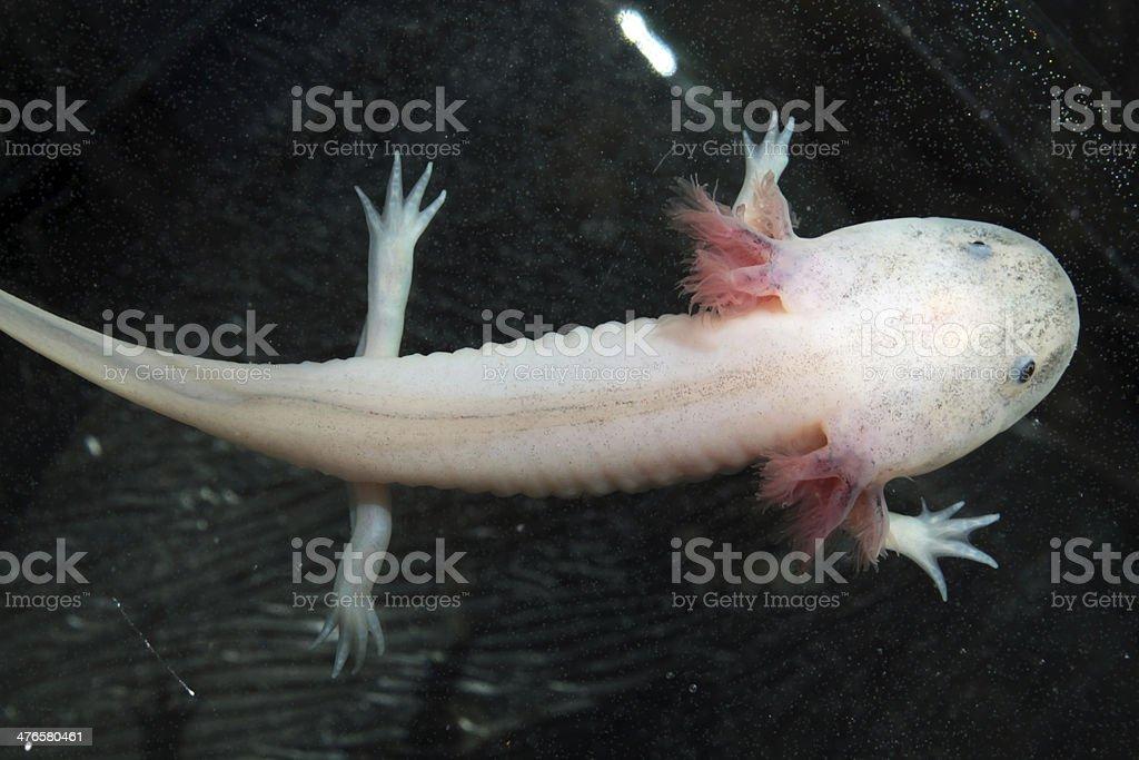 Blanco axolote - foto de stock