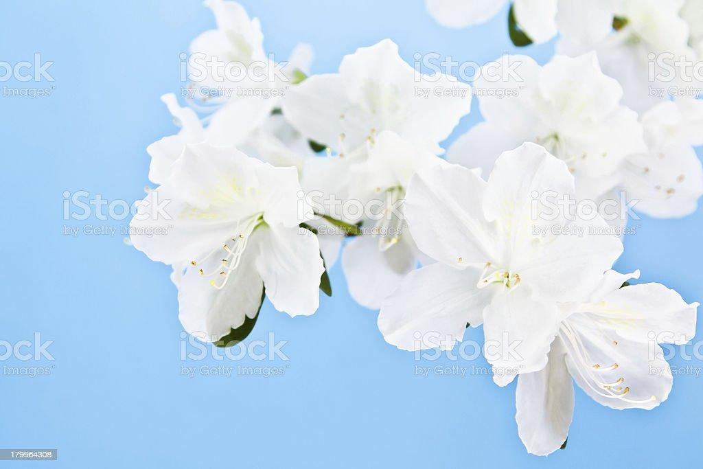 white azalea flower on blue background royalty-free stock photo