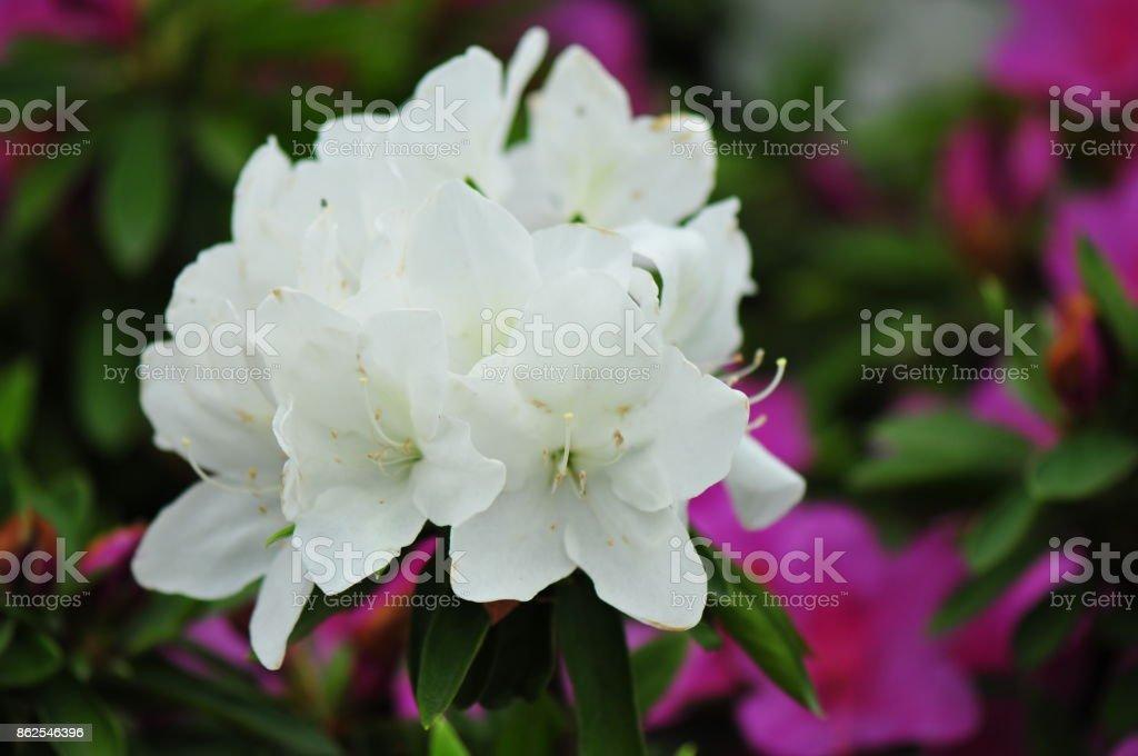 White azalea stock photo
