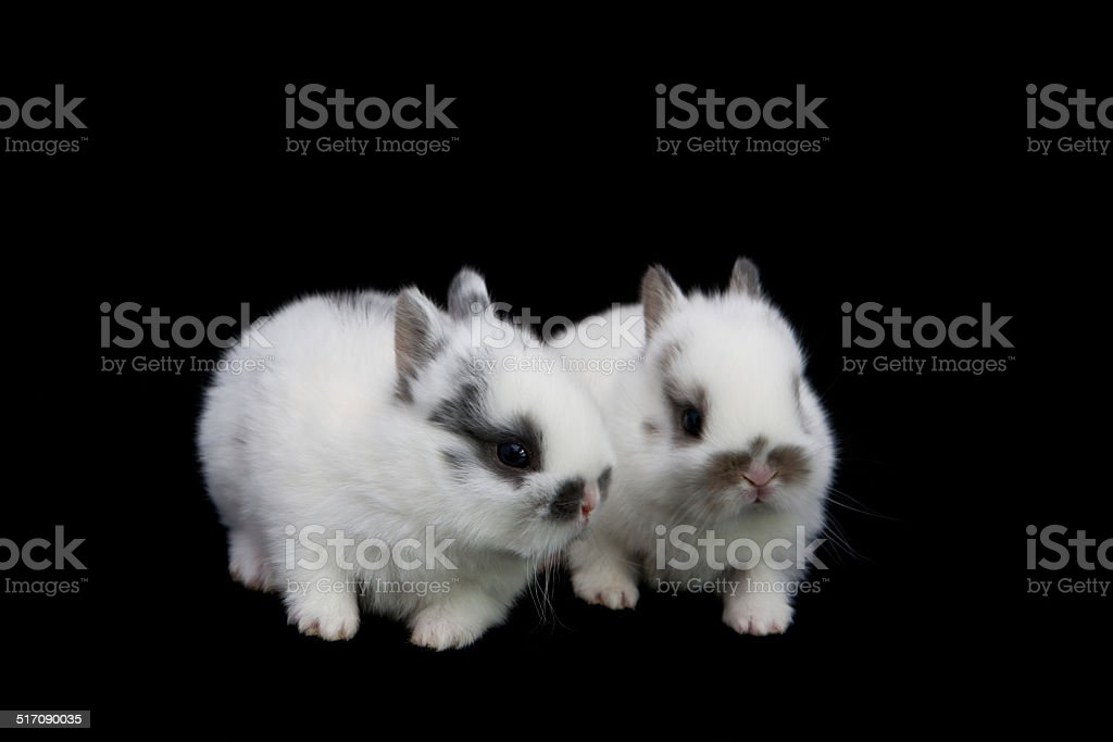 White Baby Bunnies On Black Background Stock Photo Download Image Now Istock
