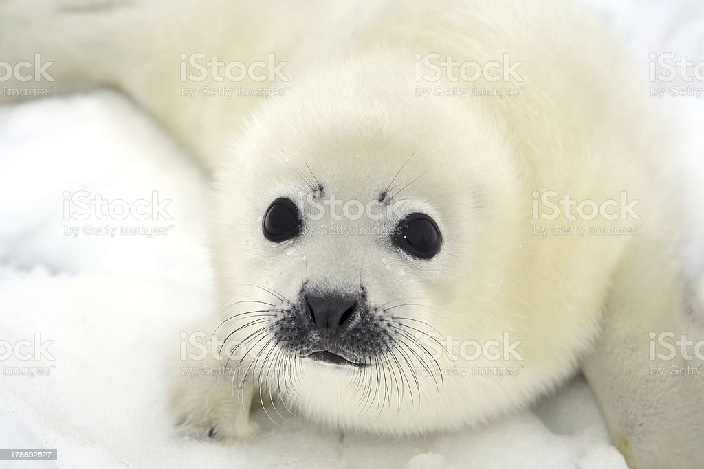 White baby harp seal pup on white snow stock photo