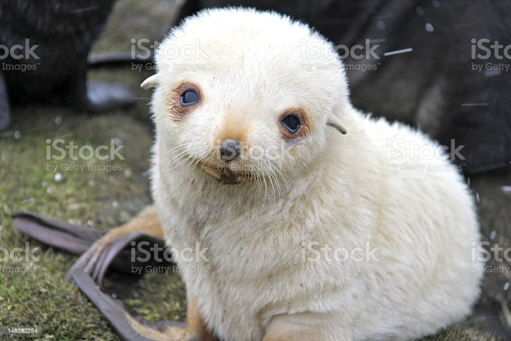 White baby seal on the South Georgia islands. stock photo
