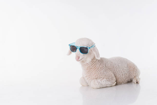 Mouton blanc avec des lunettes de soleil bébé - Photo