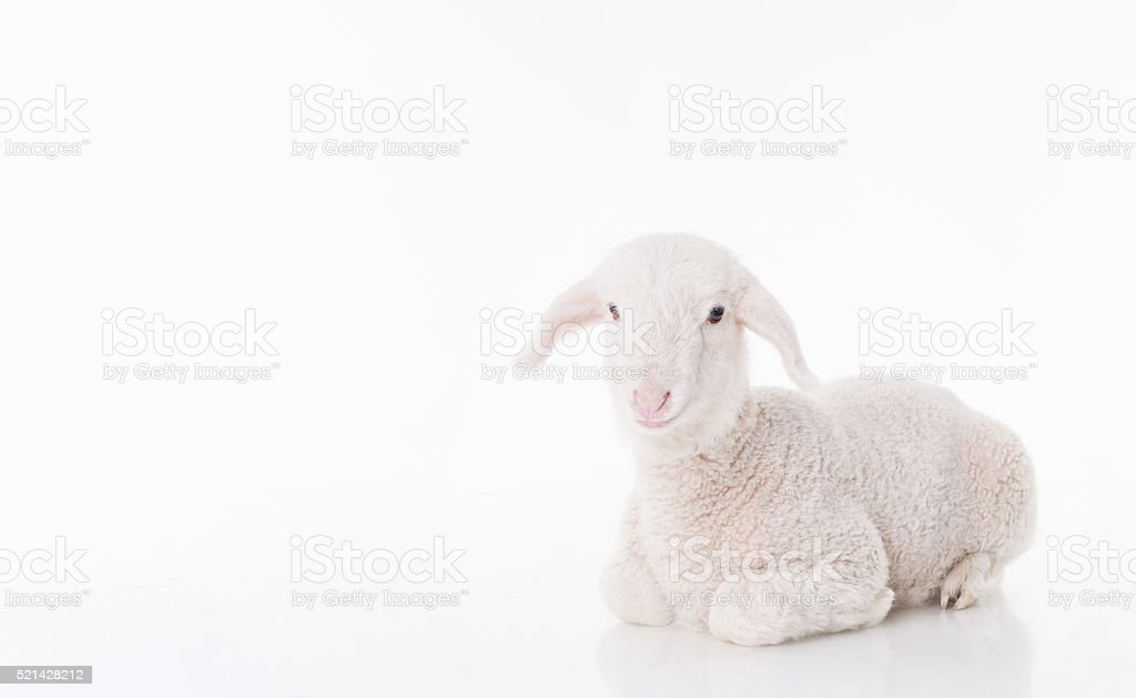 White baby sheep stock photo