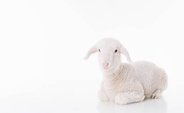 weiße baby schaf - weißes lamm stock-fotos und bilder