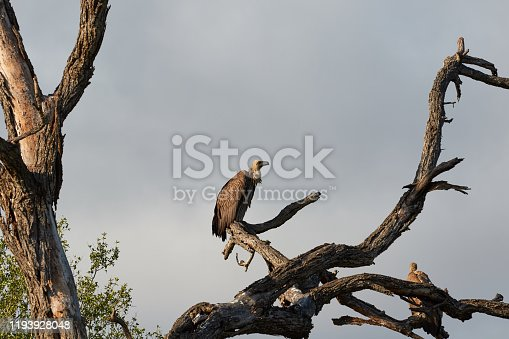 White backed vulture in a dead tree