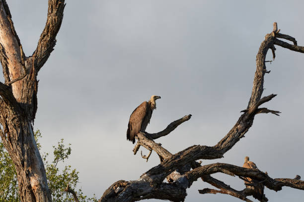 White backed vulture in a dead tree stock photo