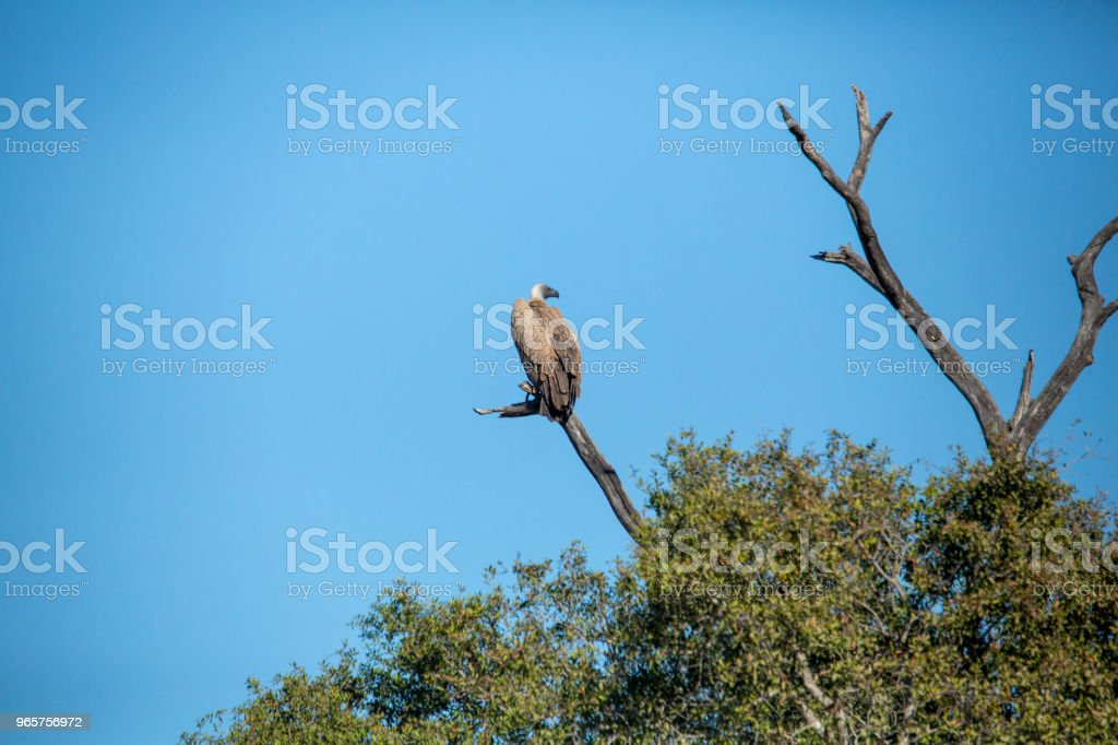 Wit Backed Vulture zitstokken - Royalty-free Aas eten Stockfoto