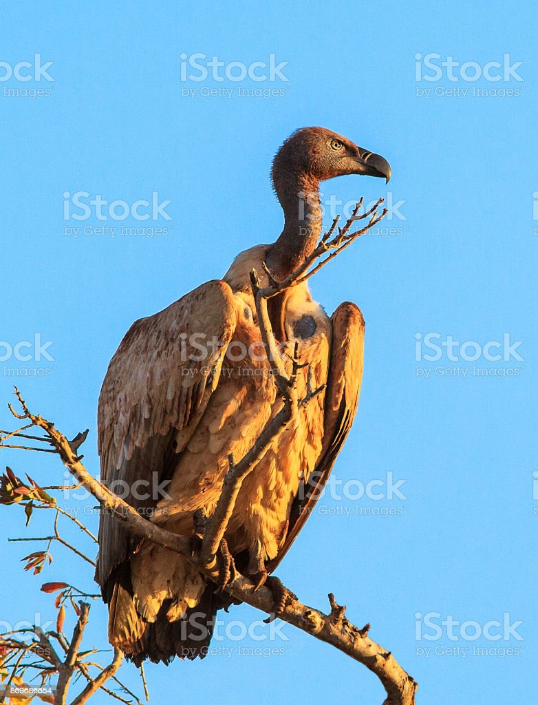 White backed vulture stock photo