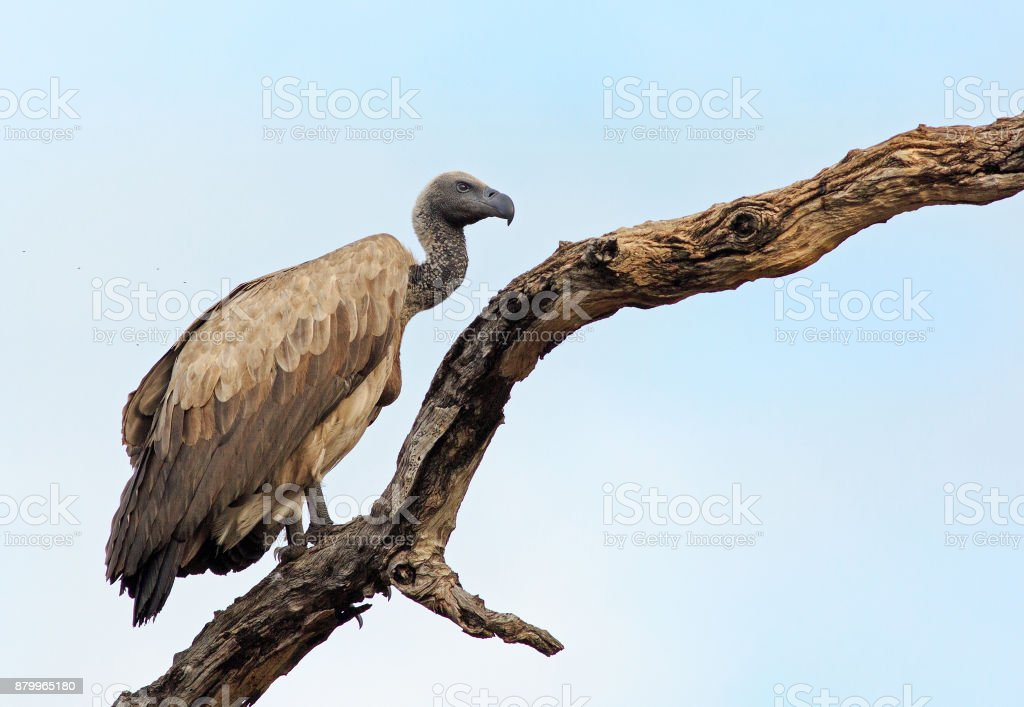White backed vulture resting on a large branch with a blue sky background, Zambia stock photo