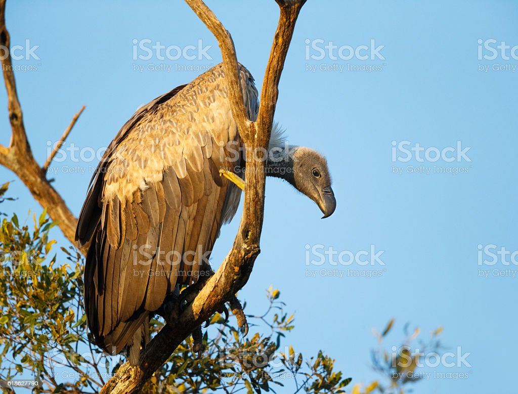 White Backed Vulture, Tanzania Africa stock photo