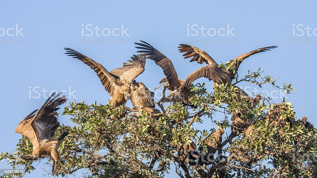 white backed vultures open wings in a tree stock photo