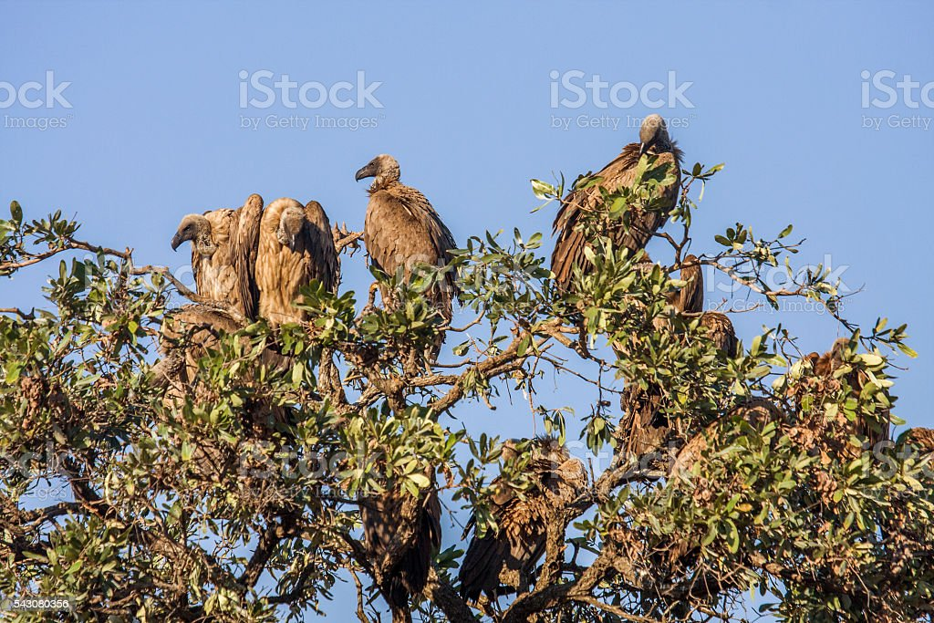 white backed vultures open wings on a tree stock photo