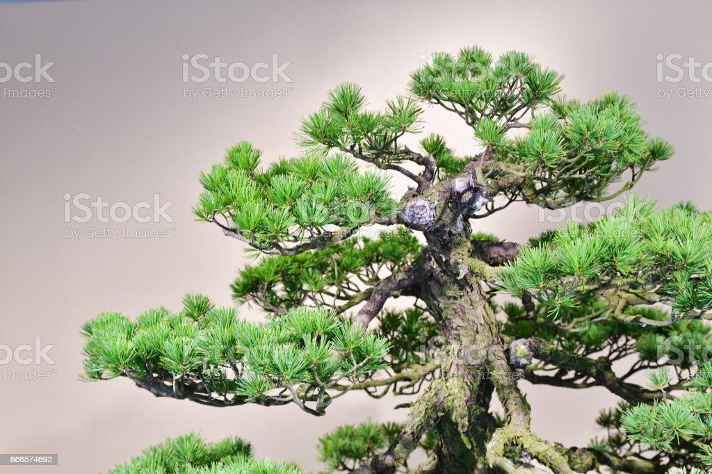 Weißem Hintergrund bonsai – Foto