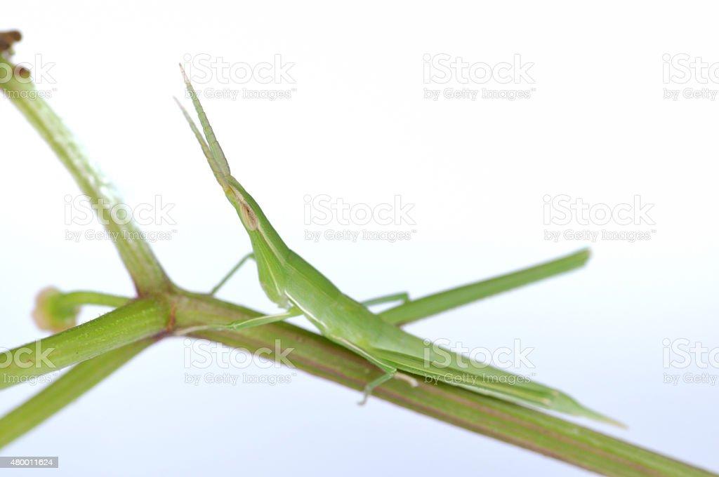 White Background show Ryo grasshoppers stock photo