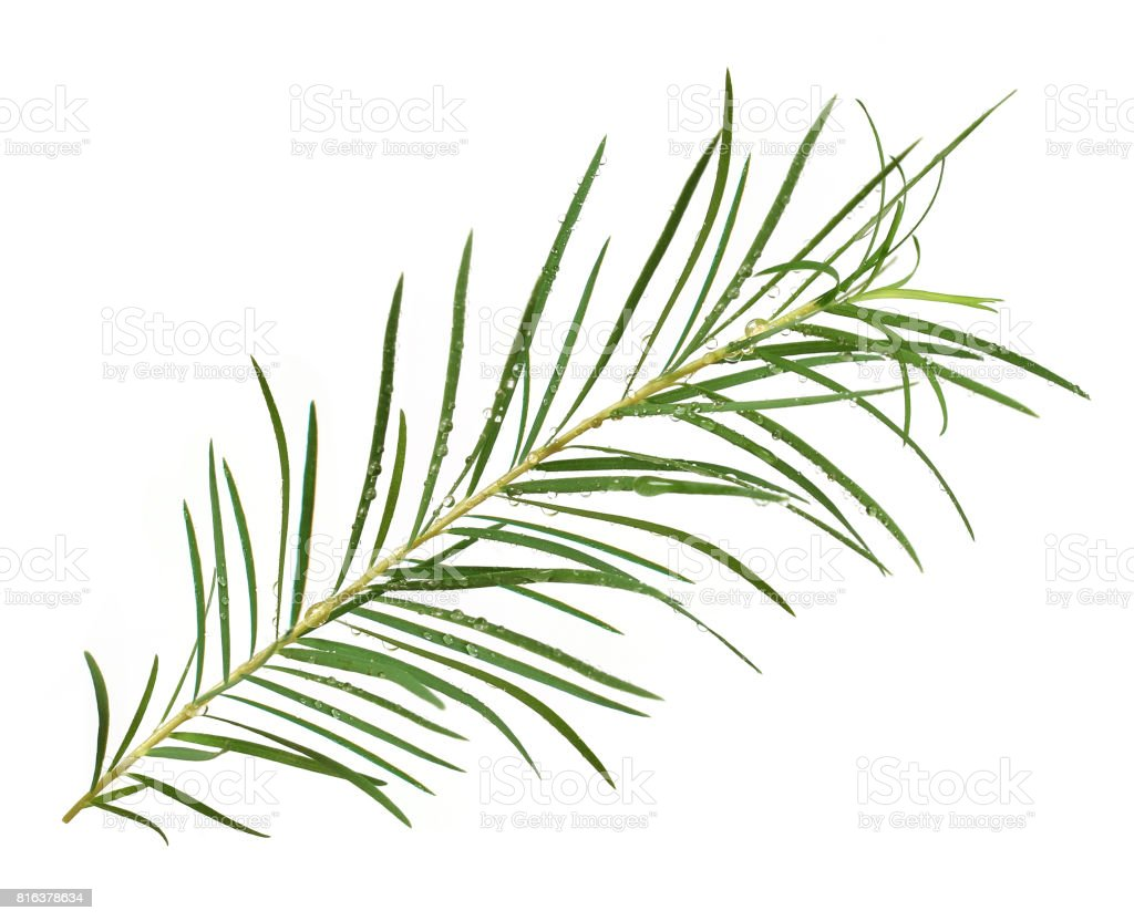 White background tea tree stock photo
