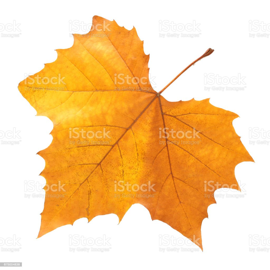 White background with a   maple leaves - foto stock