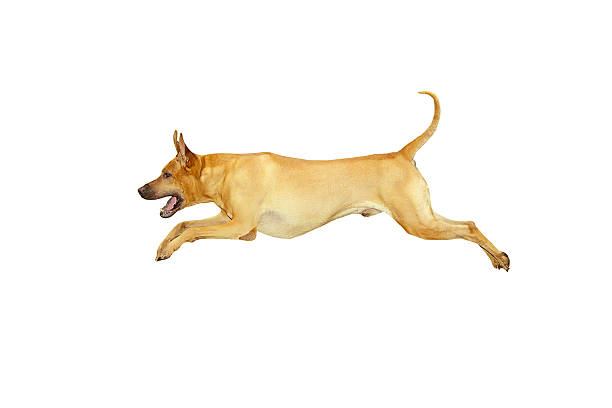 A white background with an image of a yellow dog jumping  stock photo