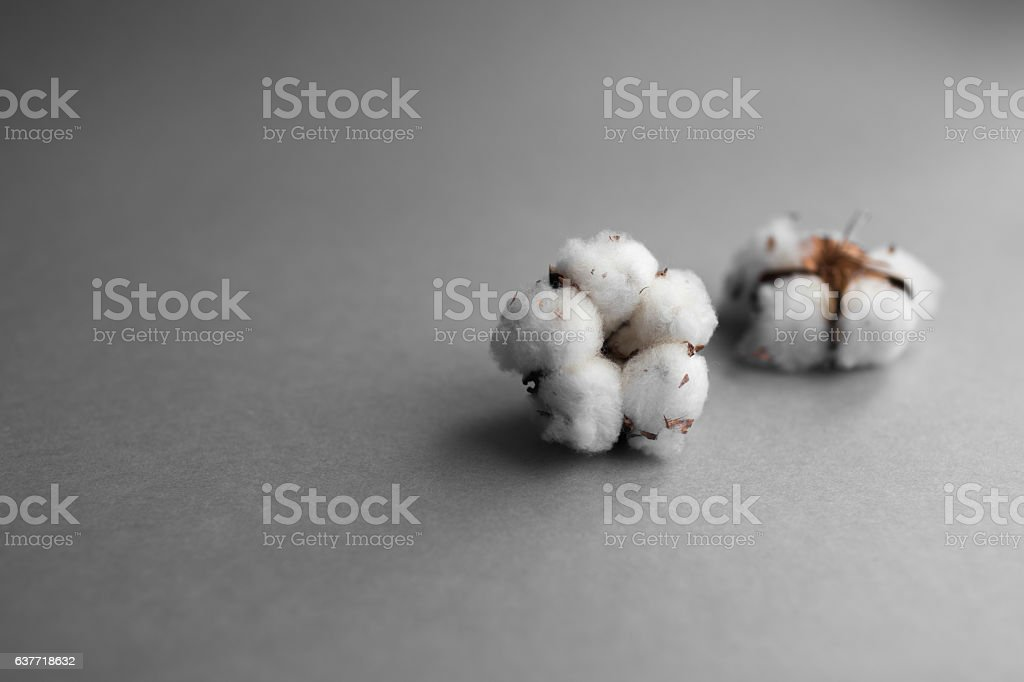 White background with branch of cotton plant stock photo