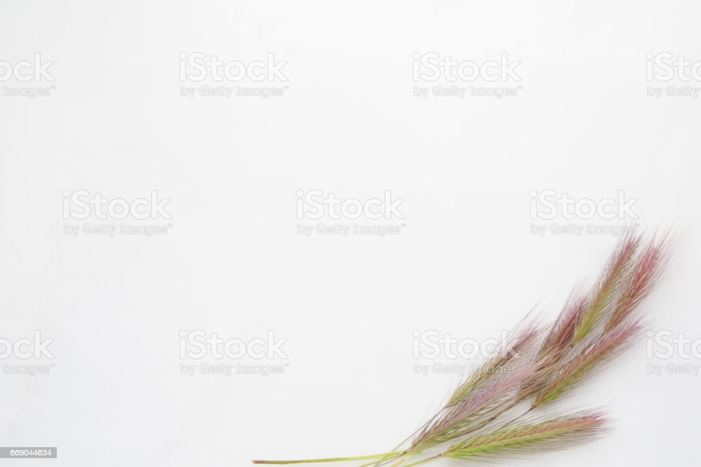 White background with empty place for inscription  on a white sheet with wheat ears stock photo
