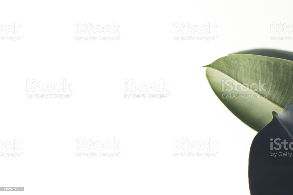 white background with ficus leaves stock photo
