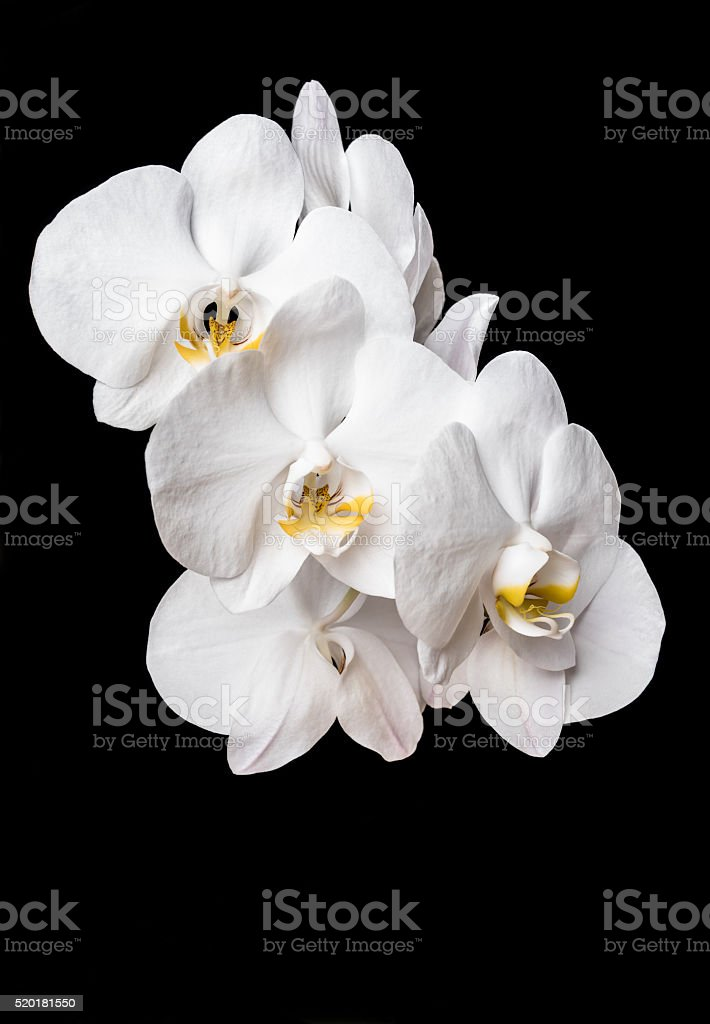 White bamboo leaf orchid. stock photo
