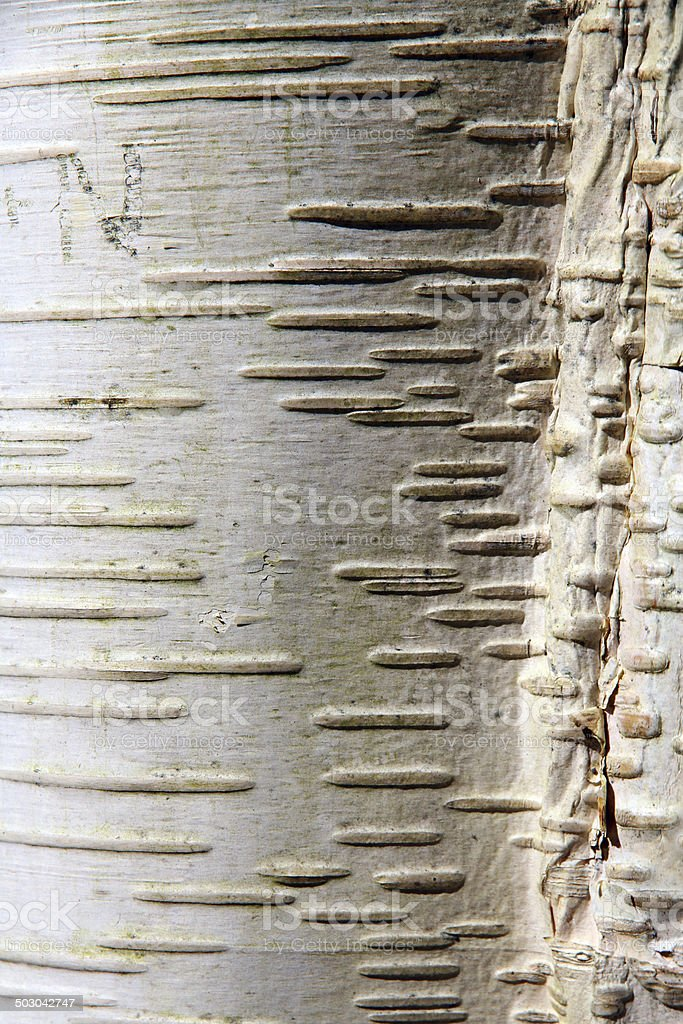 White Bark Lines stock photo