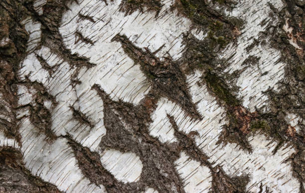 White bark of a birch tree. stock photo