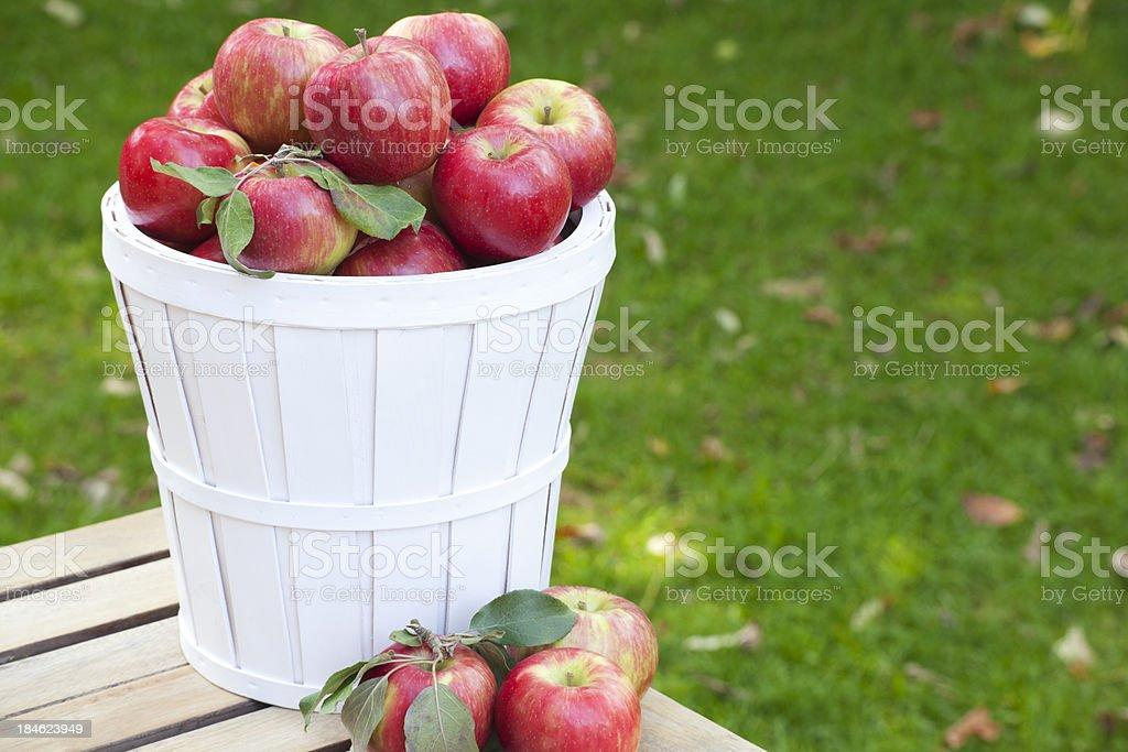 White Basket of Honey Crisp Apples stock photo