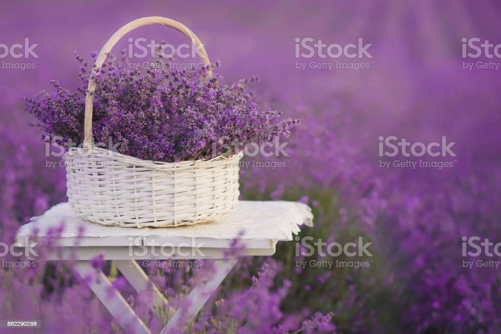 White basket with lavender flowers in the field stock photo