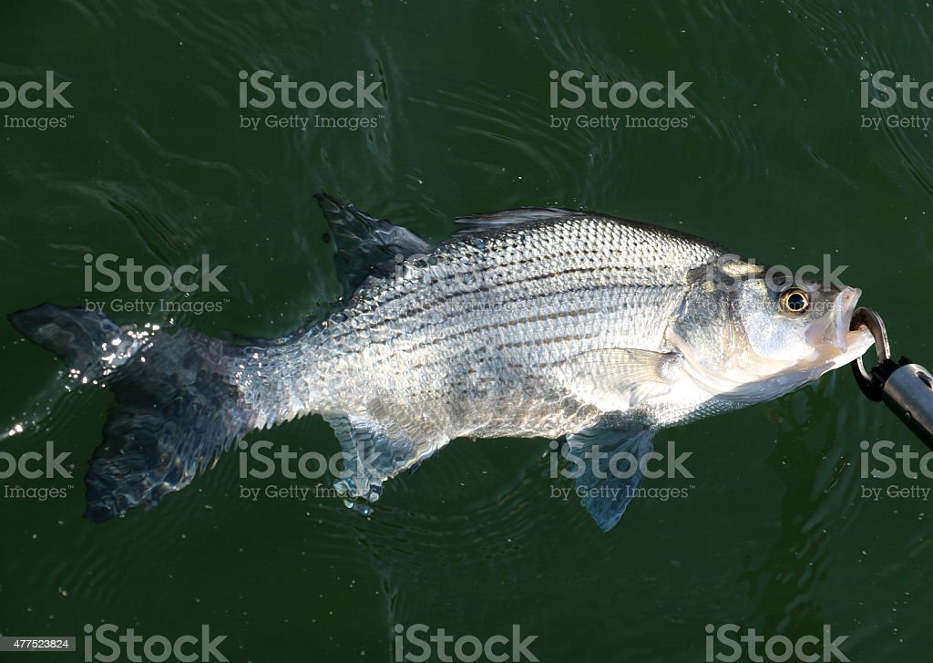White Bass stock photo