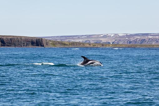 istock White Beaked Dolphin in Husavik Fjord 541126132
