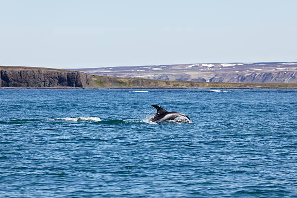 White Beaked Dolphin in Husavik Fjord stock photo