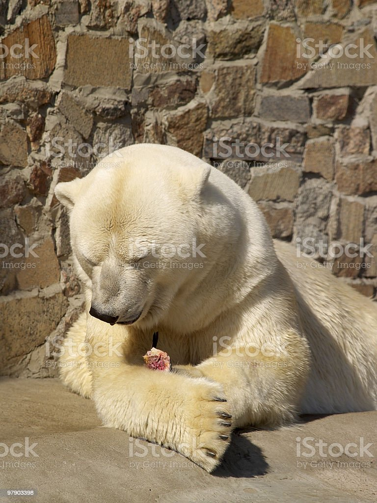 White bear after dinner royalty-free stock photo