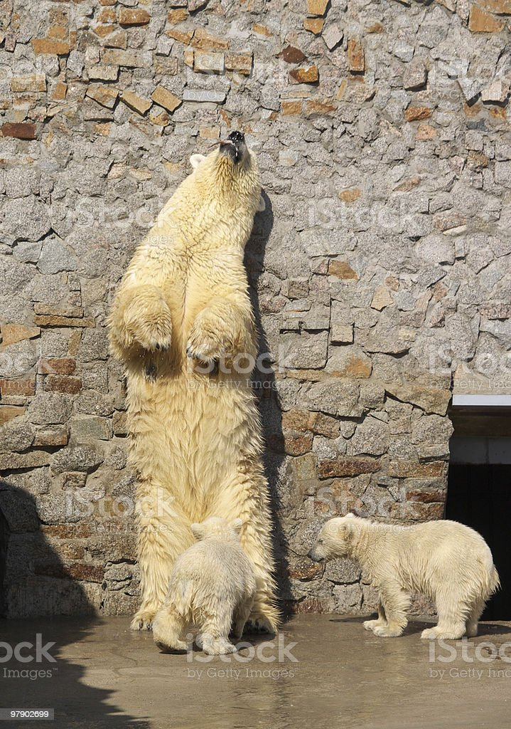 White bear and its cubs royalty-free stock photo