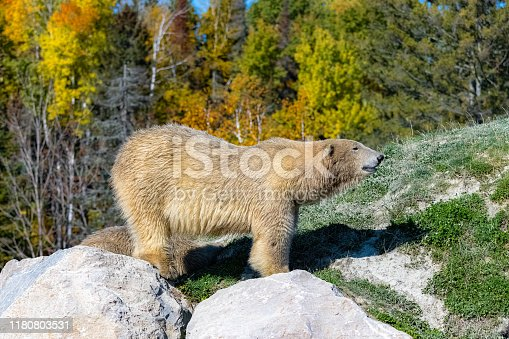 White bear in Canada, standing on a rock during the Indian summer, the forest in background