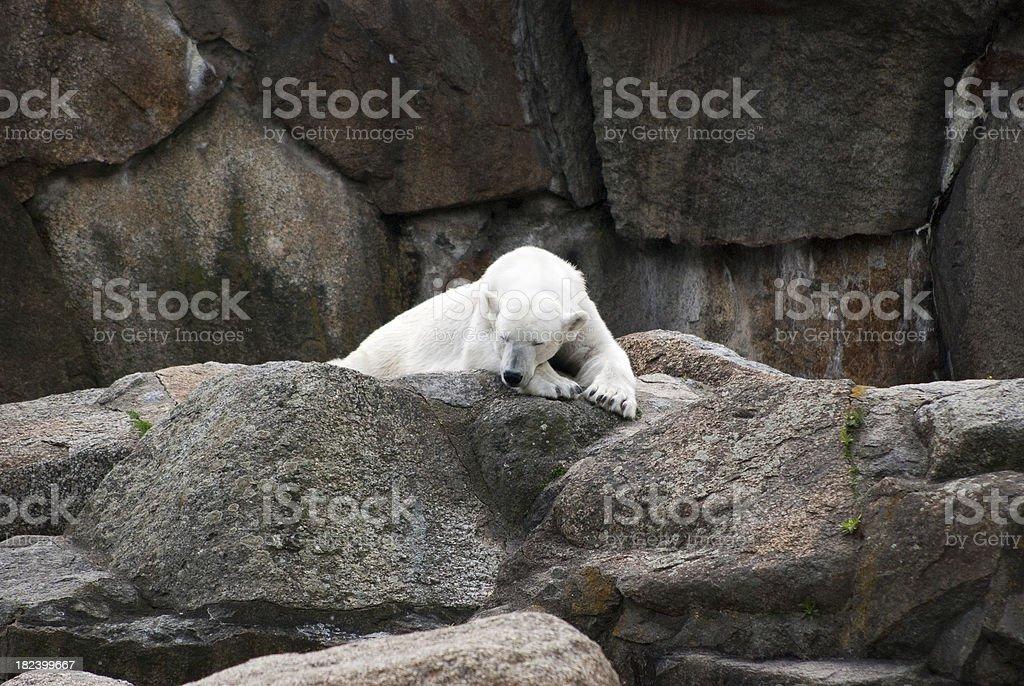 white bear, Polar, Zoop, Sliping stock photo