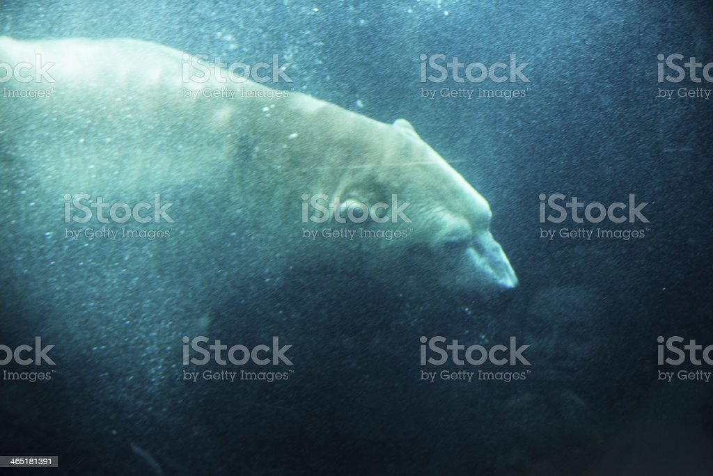 White bear underwater stock photo