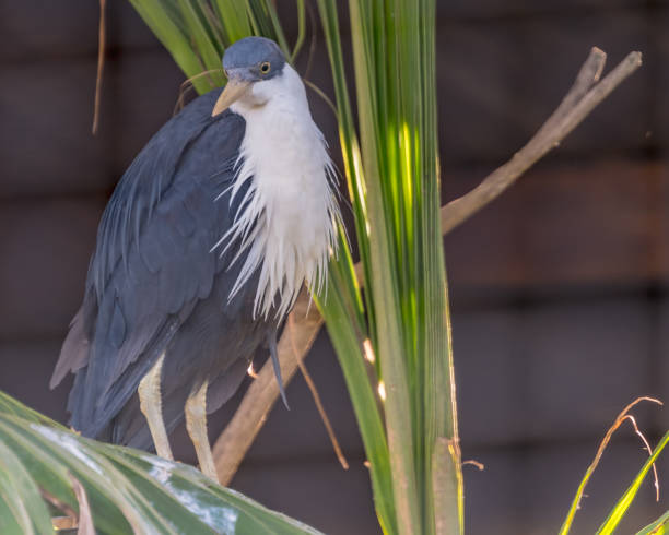White Bearded Heron stock photo