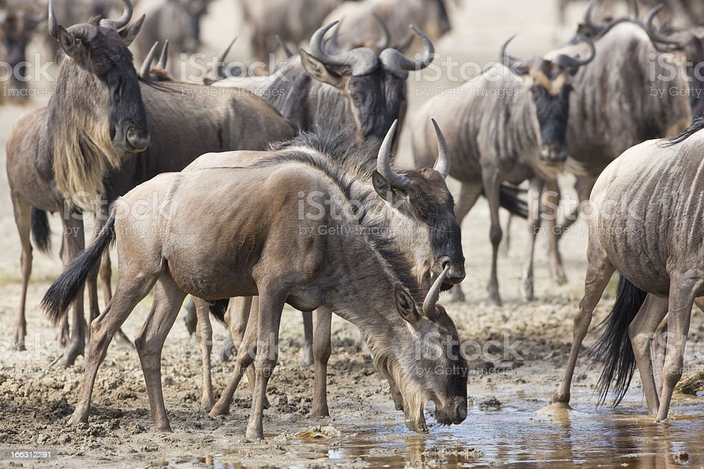White Bearded Wildebeest on the migration drinking water. Tanzan royalty-free stock photo