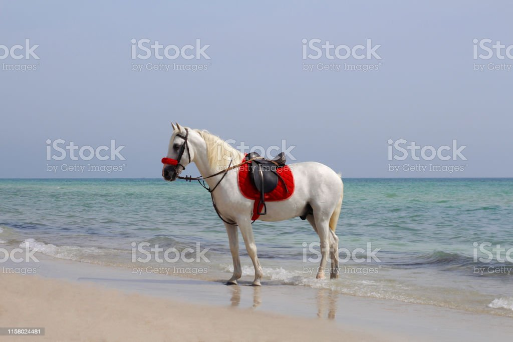 White Beautiful Horse Stands On The Sandy Beach Stock Photo Download Image Now Istock
