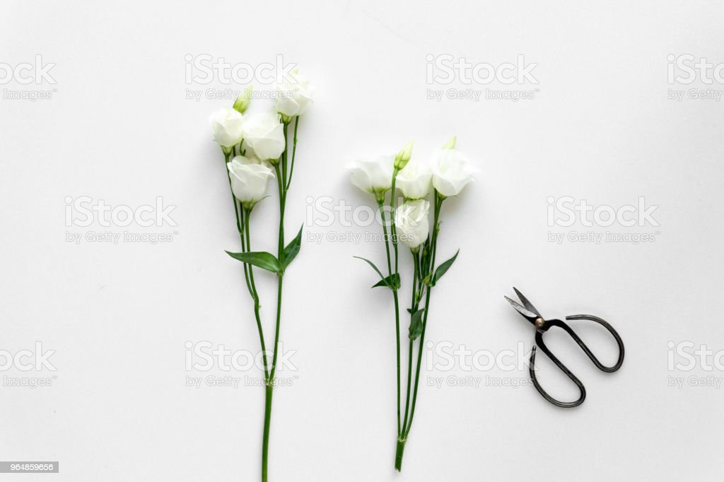 White beautiful roses and plant shears on white background. Top View. royalty-free stock photo