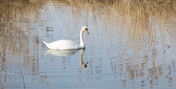 white beautiful swan swims alone on the water, water birds need a quiet place to hatch their young babies