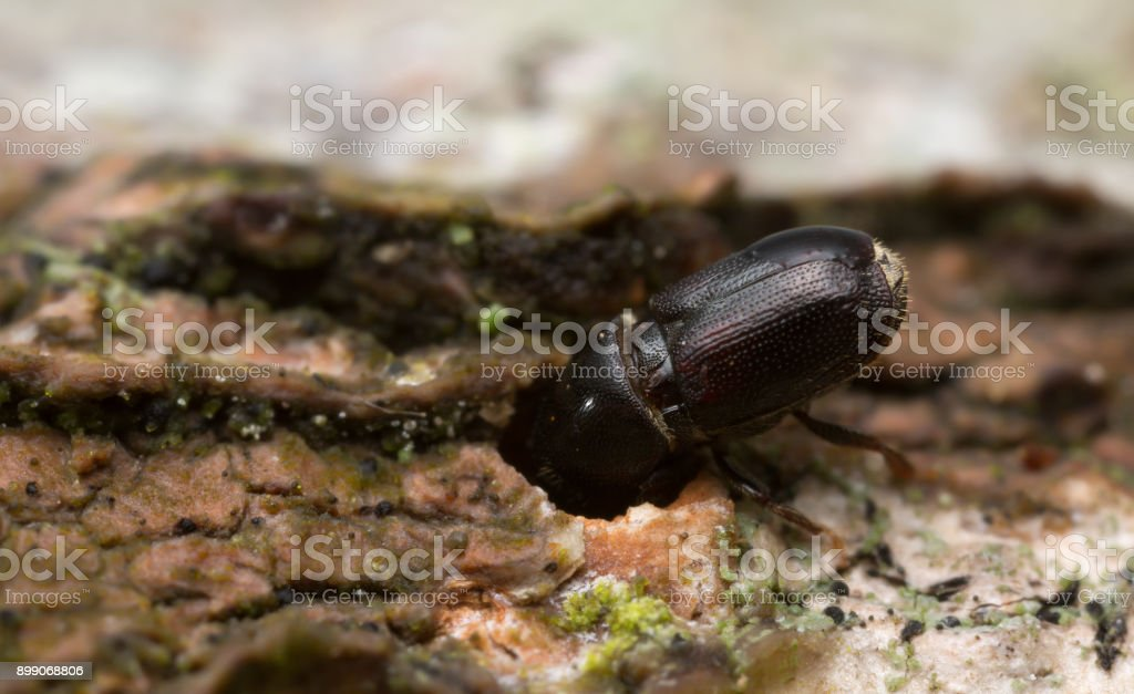 White beech bark beetles, Scolytus carpini on wood stock photo
