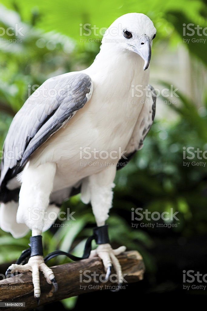 White Bellied Sea Eagle royalty-free stock photo