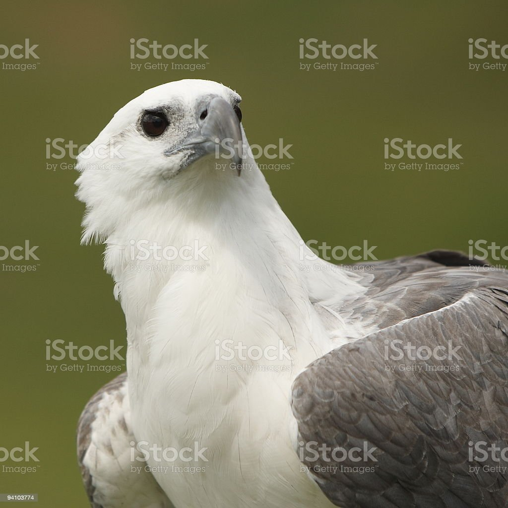 White Bellied Sea Eagle royalty-free stock photo