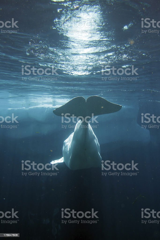 White Beluga Whale stock photo