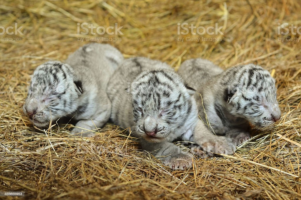 white bengal tiger cub royalty-free stock photo