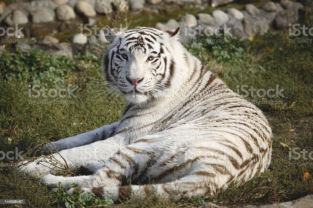 White Bengal Tiger in a close up view portrait royalty-free stock photo