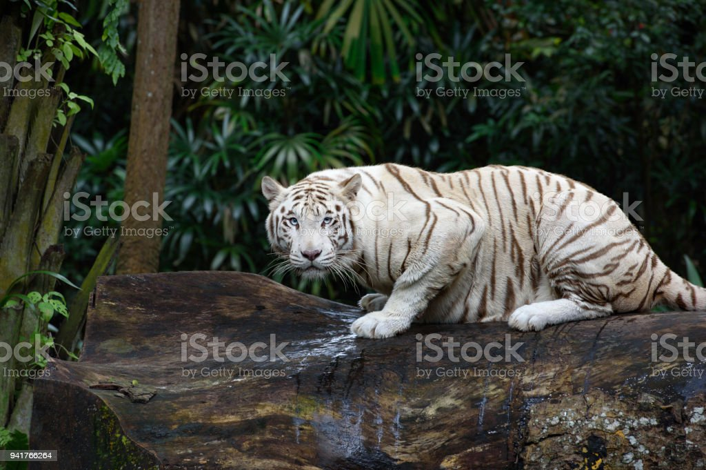 White Bengal tiger in a jungle stock photo